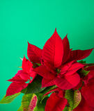 Red and green poinsettia plant for Christmas isolated on green teal background Stock Photography