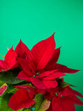 Red and green poinsettia plant for Christmas isolated on green teal background Royalty Free Stock Photography