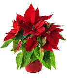 Red and green poinsettia plant for Christmas isolated on white background Royalty Free Stock Photos