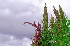 Red green quinoa field plant andean highlands, Bolivia. South America Stock Photography