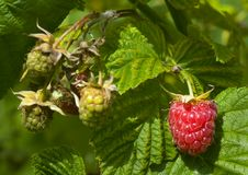Red and green raspberry Stock Photography