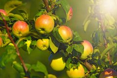 Red green ripe apples on a branch.  stock image