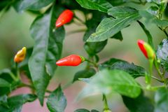 Red and green ripen chilli in plant garden stock photo