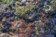 Red and green seaweed on the rock at kalim beach.  Stock Photo