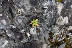 Red & Green Small Plant Growing from a Colorful Rock. Beautiful green & red small leafy plant photographed in calheido verde levada, Madeira, Portugal. In this royalty free stock photos