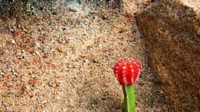 Red Spiky Cactus Near the Rock Stock Photography