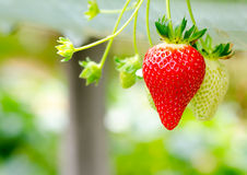 Red and green strawberries on plant Stock Image
