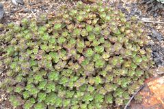 Red and green succulent groundcover. Closeup royalty free stock photos