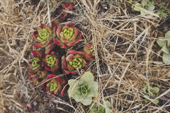 Red and green succulent plants Royalty Free Stock Photography