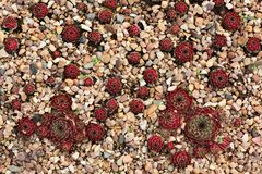 Red and green succulent plants growing on nature royalty free stock photos