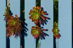 Red and green succulents growing through a blue fence royalty free stock image