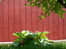Red Green of Summer. Rhubarb plants, growing behind red storage barn.  Apple tree in foregrown Royalty Free Stock Photos