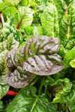Red and green swiss chard Royalty Free Stock Photo