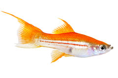 Red Green Swordtail Female Xiphophorus Helleri aquarium fish isolated on white. F royalty free stock photo