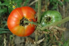 Red and green tomato growing royalty free stock photos