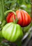 Red and green tomatoe Royalty Free Stock Photos