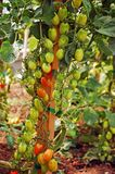 Red and green tomatoes Stock Images