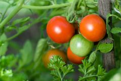 Red and green tomatoes. Grow on twigs royalty free stock photos