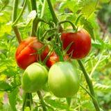 Red and green tomatoes. Red and green tomatoes on the bush Stock Photography
