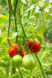 Red and green tomatoes. On the bush Royalty Free Stock Image