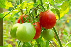Red and green tomatoes. On the bush Stock Photos