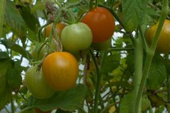 Red and green tomatoes on a branch on a bed in a greenhouse. Horizontal Stock Photo