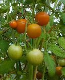 Red and green tomatoes on a branch on a bed in a greenhouse. Vertical Stock Images