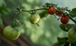 Red and green tomatoes on branches. Garden organic products Royalty Free Stock Image