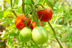 Red and green tomatoes on the bush. Red and green tomatoes with leaves on the bush Stock Images