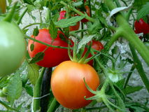 Red and green tomatoes. In the garden Royalty Free Stock Photo