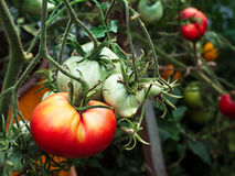 Red and green tomatoes in a green house. Tomato production in a green house Royalty Free Stock Photography