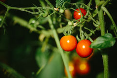 Red and green tomatoes in the greenhouse. Color photo closeup of red and green tomatoes in the greenhouse Stock Photos