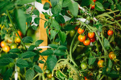 Red and green tomatoes in the greenhouse. Color photo closeup of red and green tomatoes in the greenhouse Royalty Free Stock Image