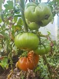 Red and green tomatoes in greenhouse. Ripe tomatoes in garden. stock photo