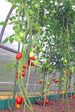 Red and green tomatoes in a greenhouse Stock Photo