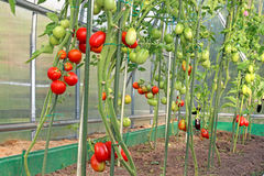 Red and green tomatoes in a greenhouse Royalty Free Stock Images