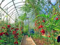 Red and green tomatoes in a greenhouse Stock Image