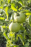Red and green  tomatoes grow on a branch. Red and green tomatoes grow on a branch. The theme of agriculture, farming, harvest, summer, healthy eating, organic Royalty Free Stock Photos