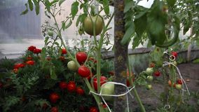 Red and green tomatoes grow on the bush stock footage