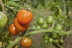 Red and green tomatoes. Grow on twigs, growing vegetables Stock Image