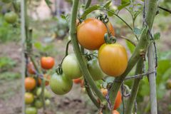 Red and green tomatoes grow on twigs. Growing vegetables Stock Photos