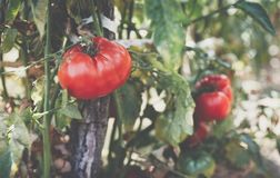 Red and green tomatoes grow on twigs summer. Ripe natural tomato. Es growing on a branch in a greenhouse. Ripe garden organic tomatoes ready for picking Stock Image