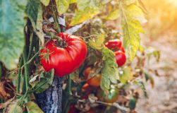 Red and green tomatoes grow on twigs summer. Ripe natural tomato. Es growing on a branch in a greenhouse. Ripe garden organic tomatoes ready for picking Royalty Free Stock Photos