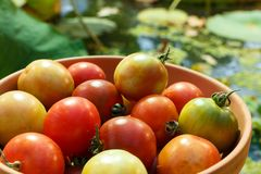 Red and green tomatoes on a plate on a background of a pond. Fresh tomatoes Stock Photography