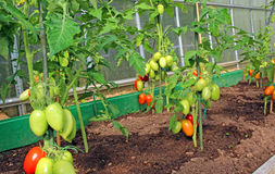 Red and green tomatoes ripening on the bush in a greenhouse Stock Images