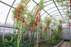 Red and green tomatoes ripening on the bush in a greenhouse of t Stock Photos