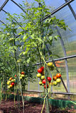 Red and green tomatoes ripening on the bush in a greenhouse Stock Image