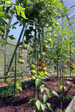 Red and green tomatoes ripening on the bush in a greenhouse Royalty Free Stock Image