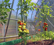 Red and green tomatoes ripening on the bush in a greenhouse Stock Photography