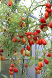 Red and green tomatoes ripening on the bush in a greenhouse Stock Photos